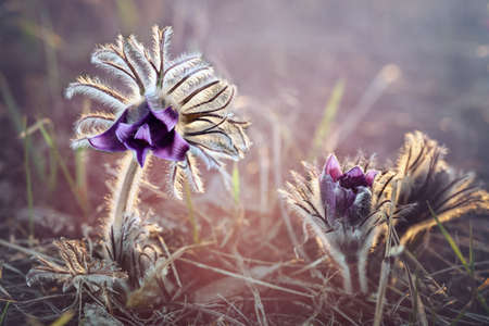 sleep grass. Pulsatilla Pаtens. Beautiful purple spring flowers. Soft macro focus