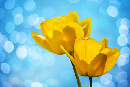 two yellow tulips on a blue blurred background with sun highlights