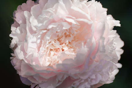 Peony flower on blurred natural green background. The concept of spring. Beautiful blooming pink peony