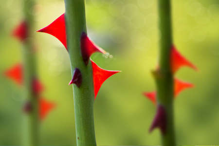 thorns rose. stalk with sharp red thorns on a blurred green natural background Stock Photo