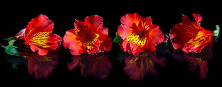 Red Alstroemeria flowers on a black background with reflection.