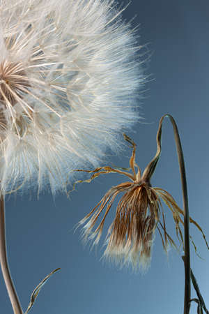 dandelion seeds close-up on a blue background. Abstraction Imagens