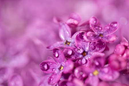 Beautiful lilac flowers in bright rays of light. Background for design with free space for text. Imagens