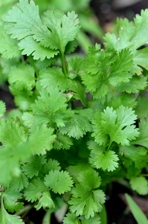Fresh cilantro (Coriandrum sativum) plant growing in a urban garden Фото со стока