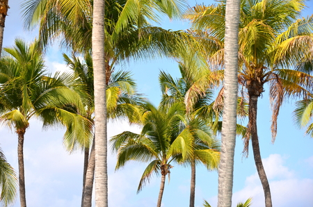 coconut palm tree tops and crowns against clear blue sky in a tropical location. 스톡 콘텐츠