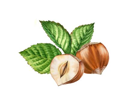 hazelnut nuts and leaves realistic botanical watercolor illustration arrangement. whole and half slice nuts isolated compositions hand painted, brown beige green color for label design