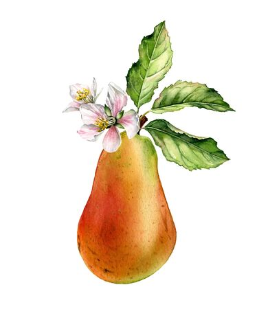 Pear fruit tree branch bloom white flowers realistic botanical watercolor floral illustration with blossom leaves. Ripe juicy exotic food golden yellow pink hand painted isolated food label design