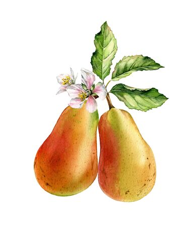 Two pears tree branch bloom white flowers realistic botanical watercolor illustration with blossom, fruits, leaves. Ripe juicy exotic food golden yellow pink hand painted isolated food label design