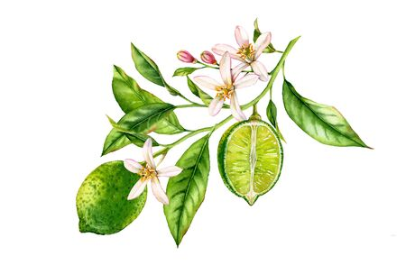 Lime fruit tree branch with flowers leaves. realistic botanical watercolor composition: whole and half slice citrus, isolated artwork on white hand drawn fresh tropical food green design element 写真素材