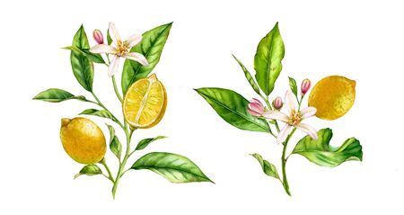 Lemon flowers fruit tree branch set .realistic botanical watercolor composition: whole and half slice citrus, leaves, two isolated bouquets on white hand drawn fresh tropical yellow design element Stockfoto