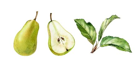 green pear fruits half slice cut realistic botanical watercolor illustration set with tree branch leaves. ripe juicy isolated hand painted, fresh exotic food golden green for food label design
