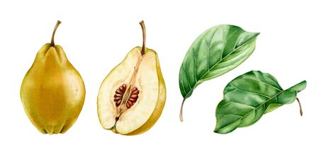 Realistic botanical watercolor illustration quince fruit leaves: whole and half slice ripe juicy isolated clipart hand drawn, fresh tropical food exotic yellow green for food label design