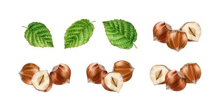 Realistic botanical watercolor illustration arrangement hazelnuts leaves set. three whole and half slice nuts isolated compositions hand painted, brown beige green color for label design Reklamní fotografie