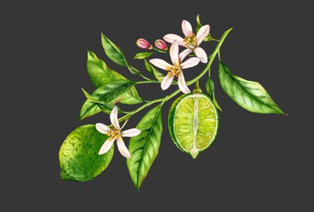 Lime fruit tree branch with flowers leaves. realistic botanical watercolor composition: whole and half slice citrus, isolated artwork on black grey hand drawn fresh tropical food green design element 写真素材