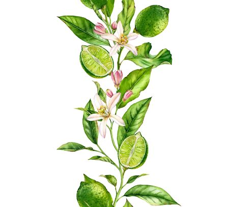 Lime fruit branch with flowers seamless border realistic botanical watercolor composition: citrus leaves isolated artwork on white hand drawn fresh tropical food green design element