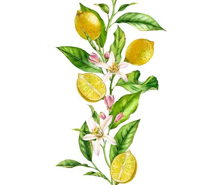 Lemon fruit branch with flowers seamless border realistic botanical watercolor composition: two whole citrus leaves isolated artwork on white hand drawn fresh tropical food yellow design element 写真素材
