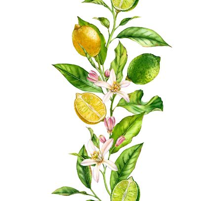 Lemon lime fruit branch with flowers seamless border realistic botanical watercolor composition: citrus leaves isolated artwork on white hand drawn fresh tropical food green yellow design element 写真素材