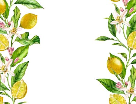 Lemon fruit branch with flowers horizontal frame realistic botanical watercolor banner: citrus tree leaves isolated artwork on white hand drawn fresh tropical food design arrangement for text label 写真素材