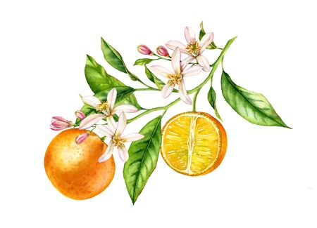 Orange fruit tree branch with flowers leaves. Realistic botanical watercolor floral composition: blooming half slice citrus, isolated artwork on white hand drawn exotic food design element 写真素材