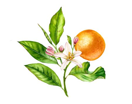 Orange fruit tree branch with flowers leaves. Realistic botanical watercolor floral composition: blooming citrus, isolated artwork on white hand drawn exotic food design element