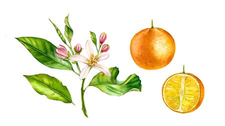 Orange fruit tree branch with flowers. Realistic botanical watercolor illustration with half slice citrus, hand drawn isolated floral set on white.