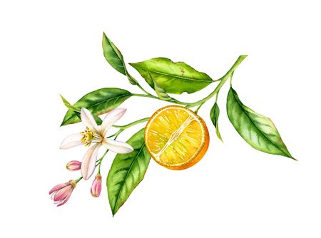 Orange fruit branch with flowers. Realistic botanical watercolor illustration with half slice citrus, hand drawn isolated floral design on white.