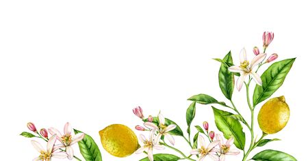 Lemon fruit branch bottom corner composition. Realistic botanical watercolor illustration with citrus tree and flowers, hand drawn isolated floral design on white