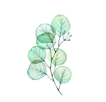 Watercolor Transparent Eucalyptus branch. Hand drawn botanical illustration isolated on white. Realistic floral design element for wedding stationery Reklamní fotografie