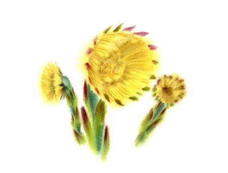 Coltfoot early spring flowers. Watercolor realistic hand painted illustration with big flower and buds. Botanical painting of coughwort isolated on white for packaging or wedding card design