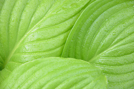 Abstract natural background fresh green leaves with raindrops. Large wet leaves of Hosta. Stock Photo