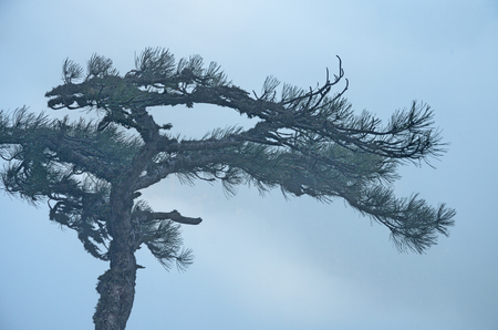 The top of a pine tree in dense blue fog. Moss on dry and fresh green branches.