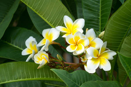 Beautiful white frangipani flowers in tropical garden photo