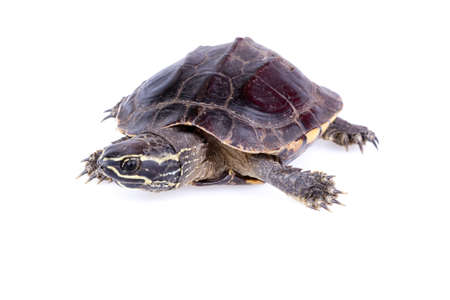 Snail-eating turtle on white background