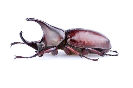 oryctes: Male Rhinoceros beetle on white background