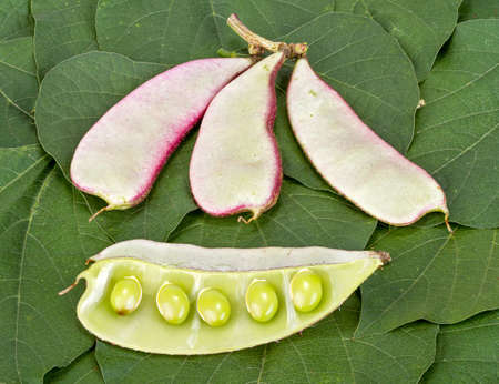 dolichos lablab: Hyacinth Bean - Dolichos lablab L. on green leaves