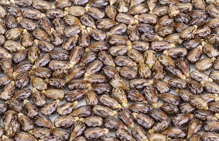 castor: Castor oil seeds-ricinus communis