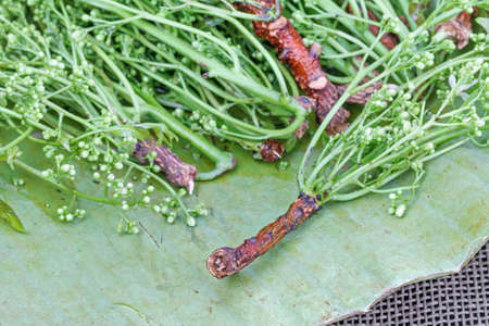 quinine: fresh Neem plant on banana leaf (Azadirachta indica Juss. var. siamensis Valeton)