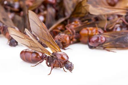 Subterranean ant (Scientific Name is Carebara castanea Smith) on white background