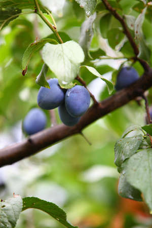 Ripe violet plum on branch outdoor nature photo