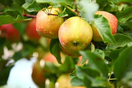 Ripe, beautiful apples on the branches of apple trees photo