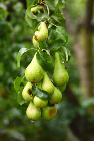 mature fruit in the branch of a tree photo