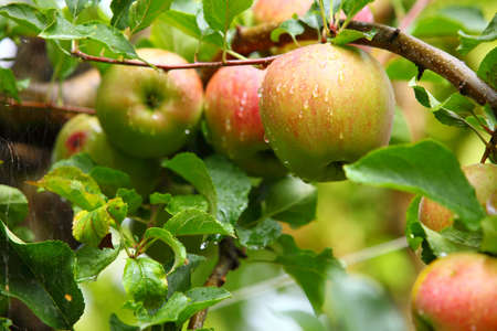 vitamines: Ripe, beautiful apples on the branches of apple trees