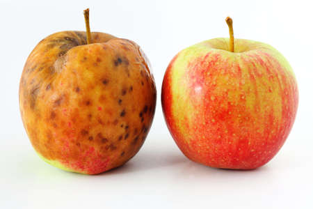 rotten fruit: spoiled one bad red apple on white background Healthy and rotten apples