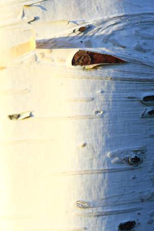 betula pendula: Betula pendula. Texture di corteccia di betulla, sfondo