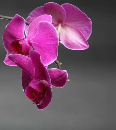 Phalaenopsis. Pink orchid on gray background photo