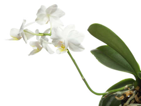 White orchid flower isolated on a white background Stock Photo