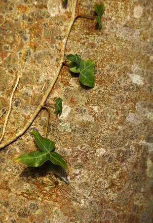 crack climbing: Green ivy leafes in stone background