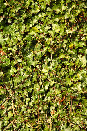 The wall covered by green leaves. Natural background from climbing plants photo
