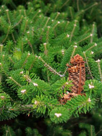 Close up conifer green branch with cones photo