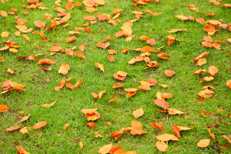 Orange autumn leaves on green grass photo